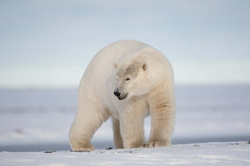 Polar bears appear to have white fur; however, it is actually clear or translucent.  Translucent fur reflects the sunlight and thus looks white.  At night without the sunlight, polar bears appear gray and look like shadows. scottdavisphotos.com