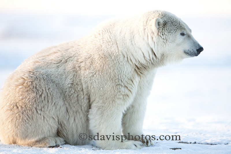 Bears will mate in late spring through early summer but the embryo does not implant into the uterus wall until November.  This delayed implantation will not allow embryo development unless the female has enough fat reserves.  The development of the embryo is complete in January or February and the cubs are born.  Polar bear mating and embryo implantation occurs a few months earlier than that of the black or brown bear. scottdavisphotos.com