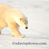 Depending on the time of the year and the angle of the sun, polar bear fur can also appear to be yellow.  The whitish coloring helps them blend with the snow and improves their success at hunting.  Their ears and tail are small, which reduces the surface-to-air ratio of the bear's body helping to conserve energy. scottdavisphotos.com