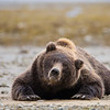 Brown Bear (Kodiak)