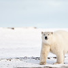 A polar bear attack on a human almost always ends only when one of them is dead.  When a polar bear attacks a human, the person is often unaware of the bear's presence until its too late.  Most problem polar bears are sub-adults, this is the most difficult time for the bear. scottdavisphotos.com