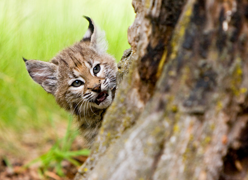 Young bobcat kitten about to ambush some mock-prey (one of it's siblings in fact).