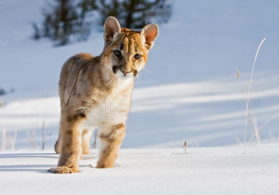 Enjoying his first winter, this young cougar is simply looking for ways to cause trouble!!