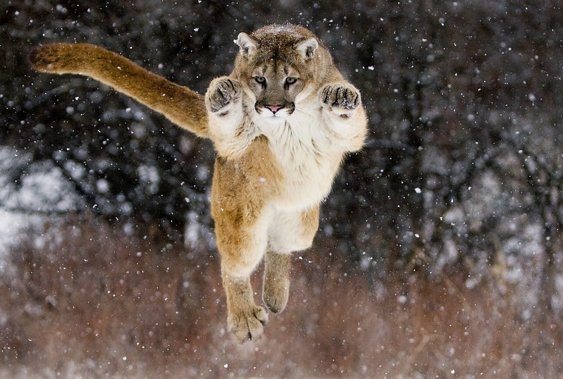 Leaping cougar!!!