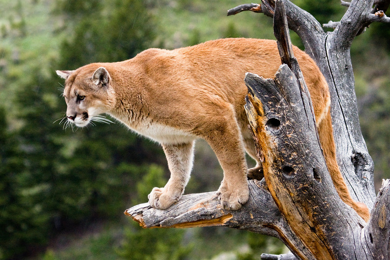 Adult cougar in a tree