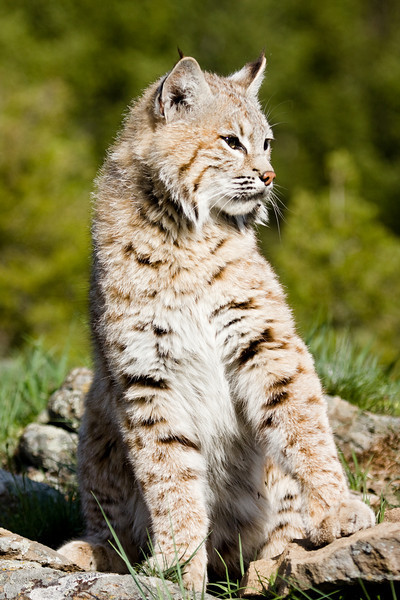 This bobcat had been sunning itself, but something got it's attention.