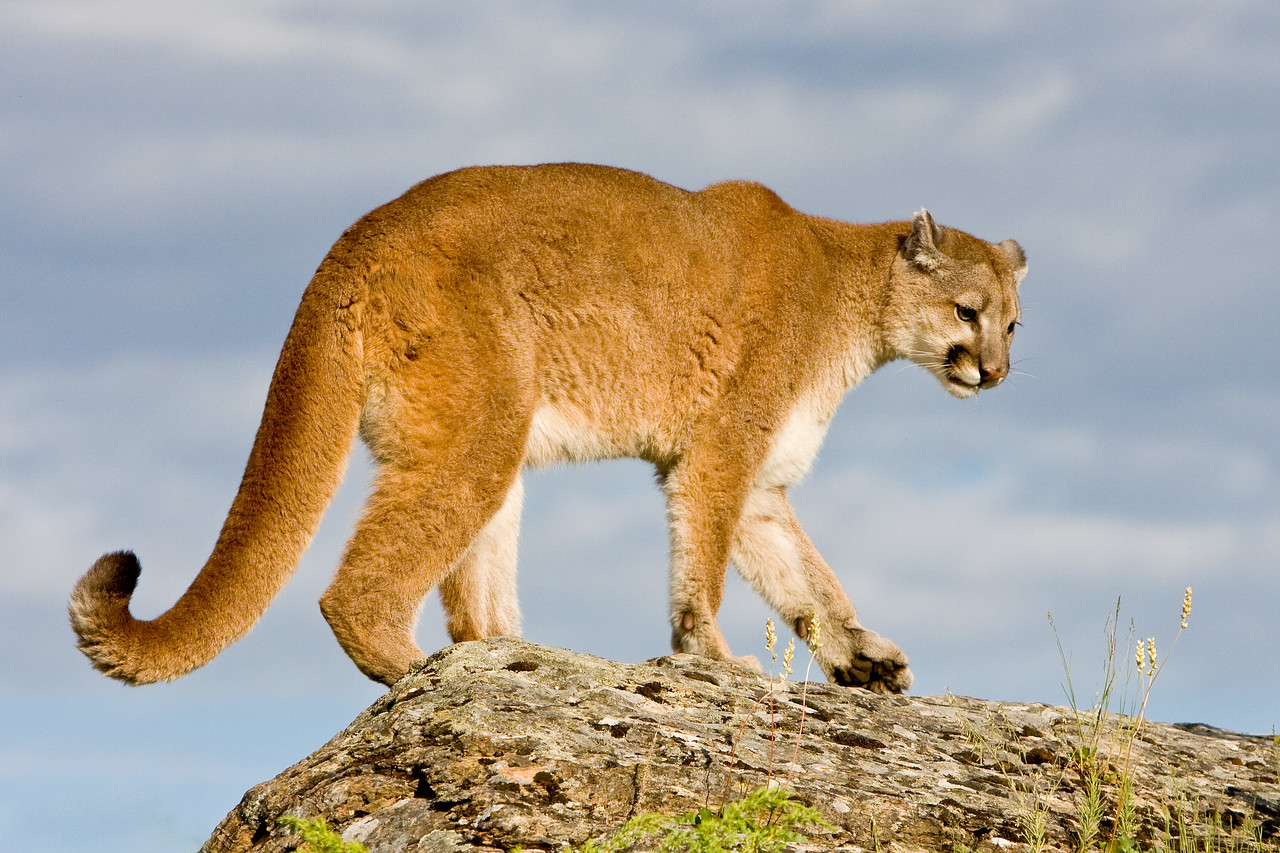 This cougar - also known as mountain lion or puma - takes an early morning walk along a rocky ridge.