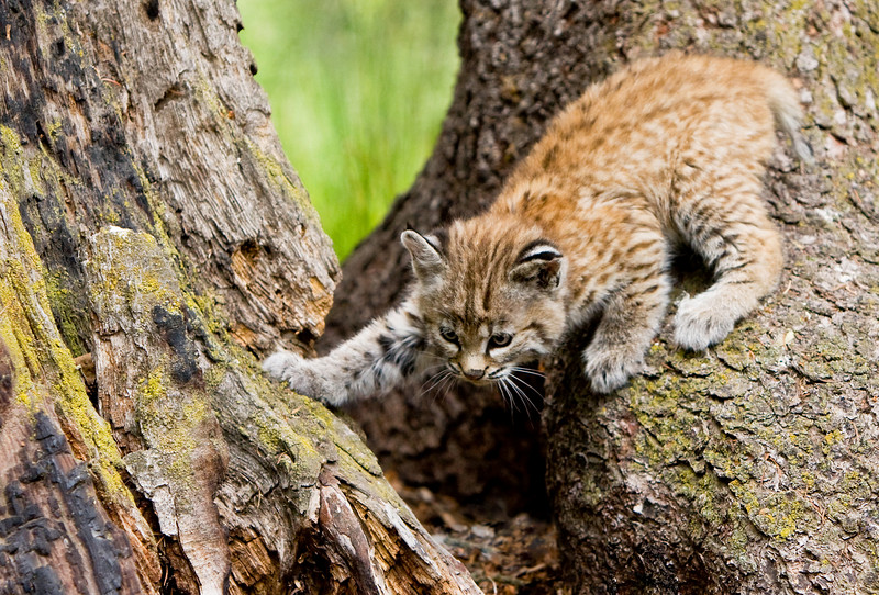 A bobcat kitten crawls around, exploring outside this hollow tree stump.