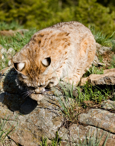 Enjoying a nice light snack, this pose illustrates the white ear markings typical of bobcats