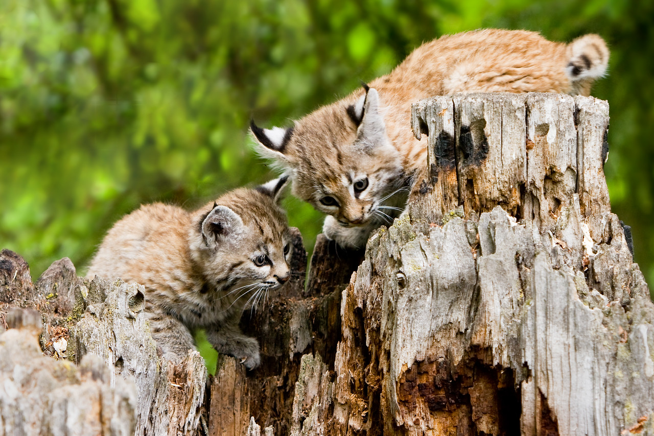 This pair of curious bobcat kittens seem to have found something on a rotting tree stump.
