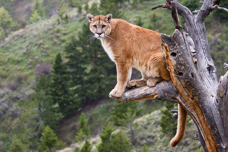 Cougars will often wait in a tree to ambush passing prey.