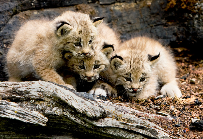 These three Canada Lynx kittens are completely captivated by a tiny ladybug!
