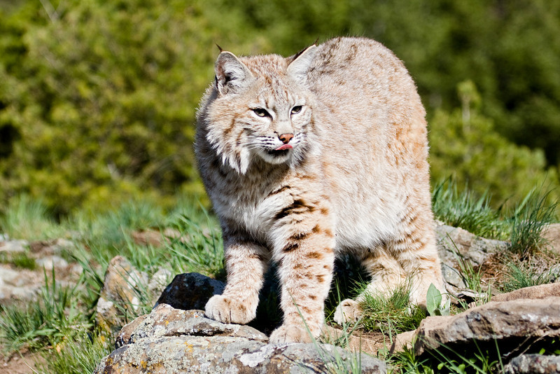 This bobcat has just seen something.... dinner time!!