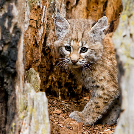 A very young bobcat kitten peers out from inside a hollow tree stump.