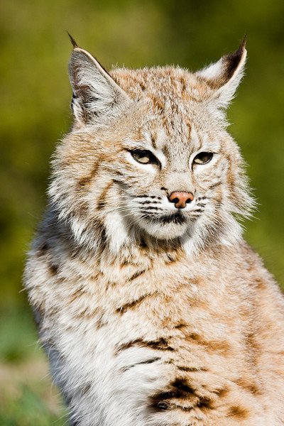 Proud and handsome bobcat, showing the typical white mark on the back of their ears.