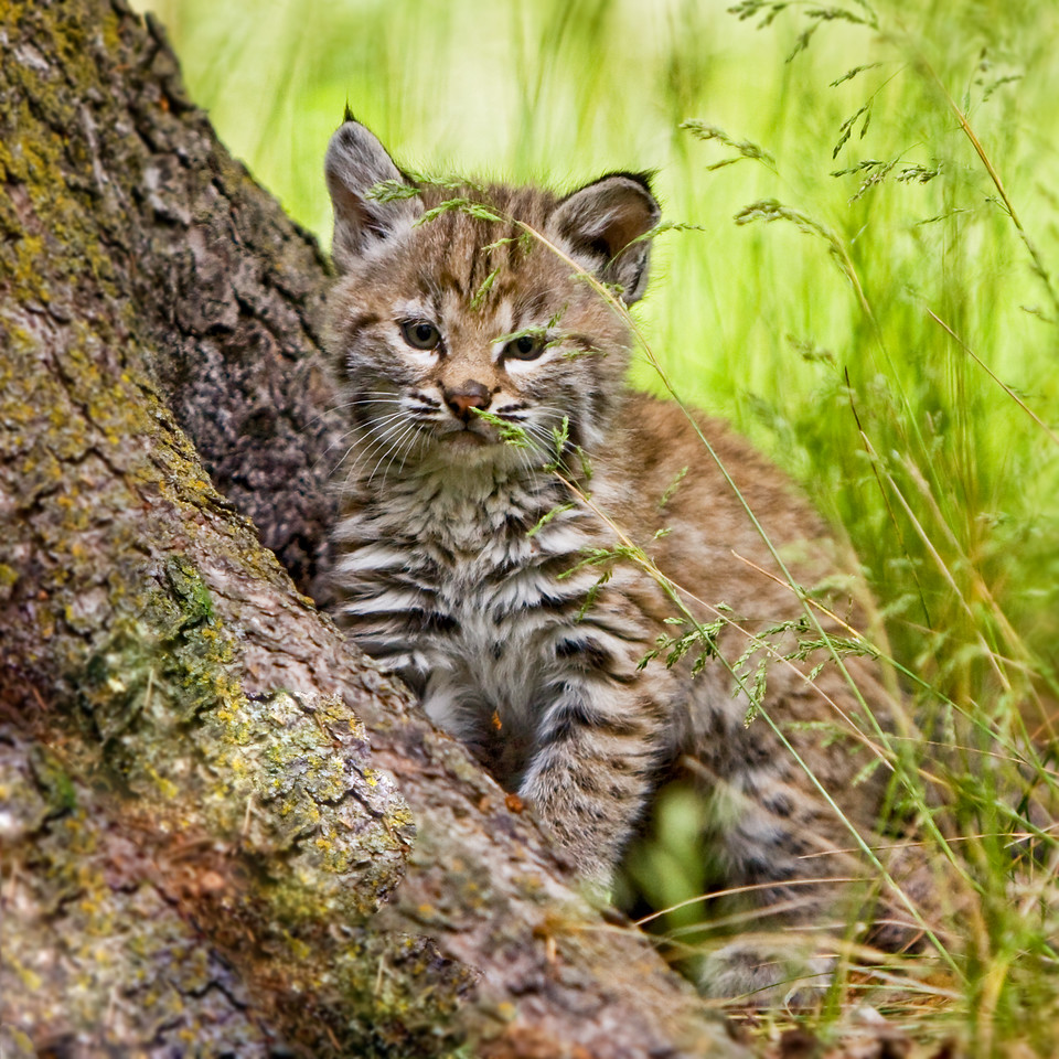 This little bobcat kitten is sizing up it's sibling, who is about to get ambushed!