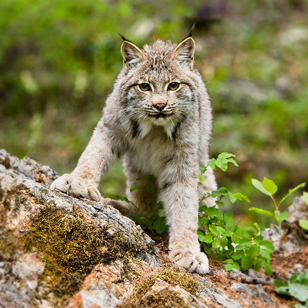 The large paws give this lynx away! It was certainly curious about who was watching.