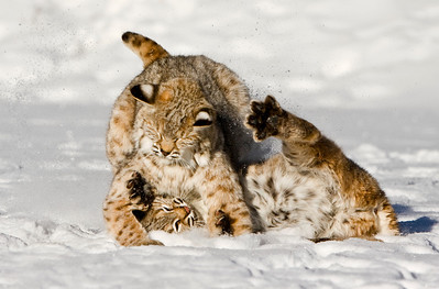 And then there were TWO!! Bobcat kittens rolling each other in the snow - Montana
