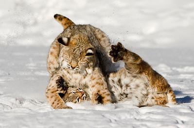 north american big cats karenkane