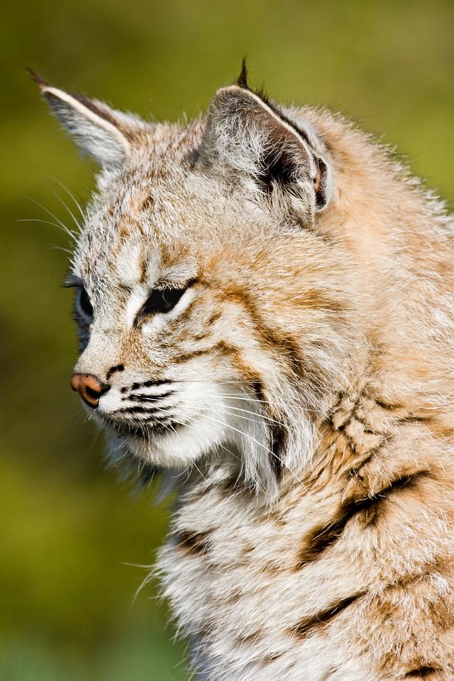 Handsome bobcat