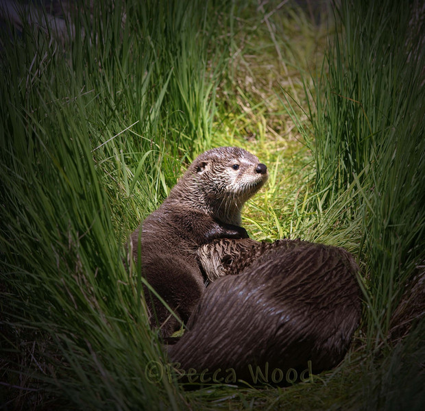 LC 09JU5959<br /> <br /> Female River Otter and kit.