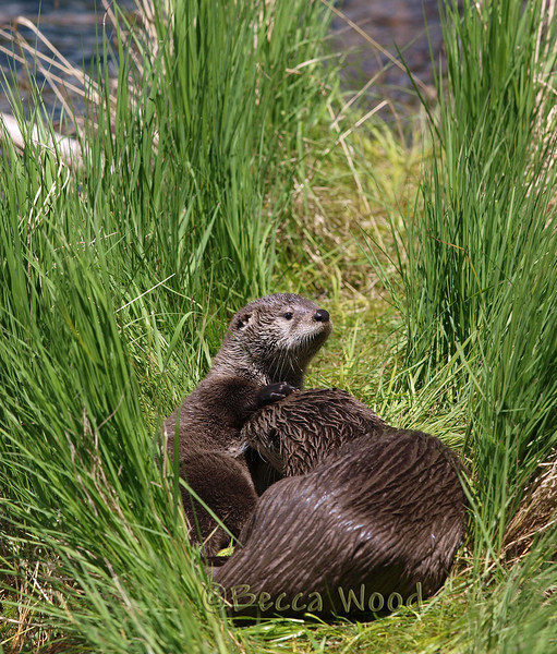 LC 09JU5961<br /> <br /> Female River Otter and kit.