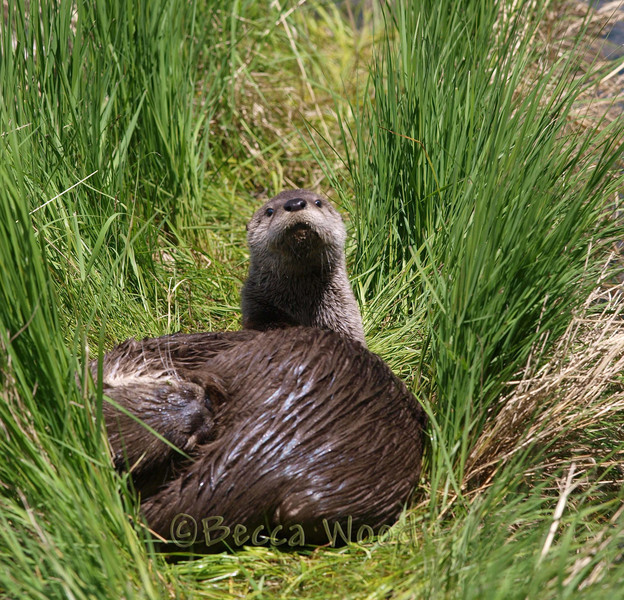 LC 09JU5968<br /> <br /> Female River Otter and kit.
