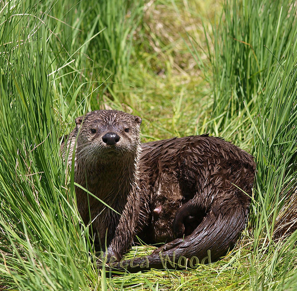 LC 09JU5970<br /> <br /> Female River Otter.<br /> <br /> An adult river otter can weigh between 5 and 14 kg (11 and 30 lb). The river otter is protected and insulated by a thick, water-repellent coat of fur.