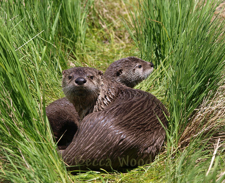 LC 09JU5955<br /> <br /> Female River otter (looking at the camera) and kit.