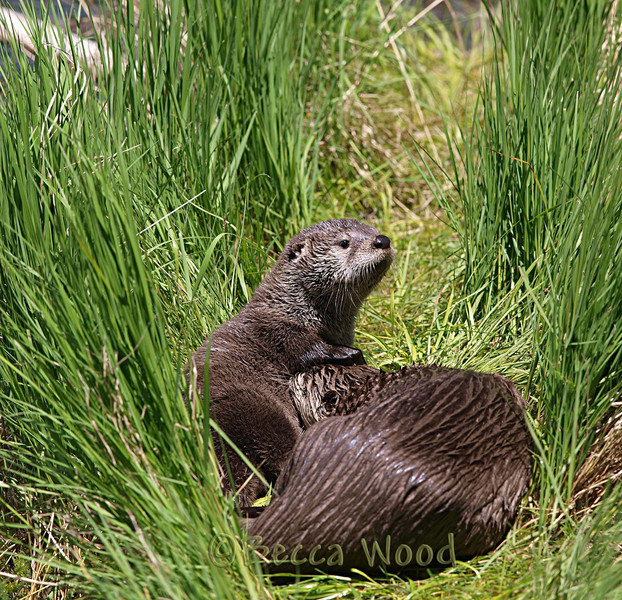 LC 09JU5960<br /> <br /> Female River Otter and kit.