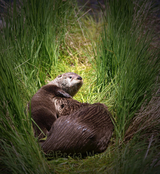 LC 09JU5958<br /> <br /> Female River Otter and kit.
