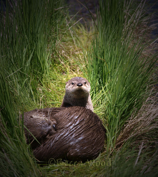 LC 09JU5966<br /> <br /> Female River Otter and kit (the kit is looking at the camera).