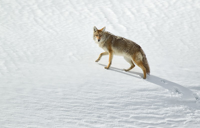 One Small Step for Coyote