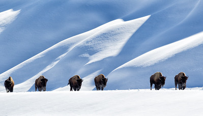 The March of the Bison