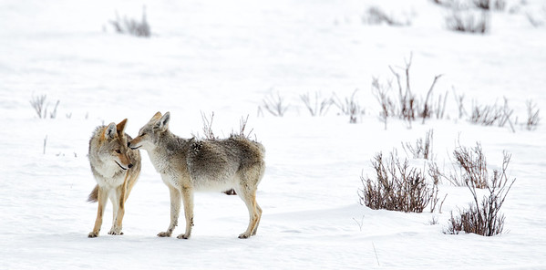 Coyote Greeting