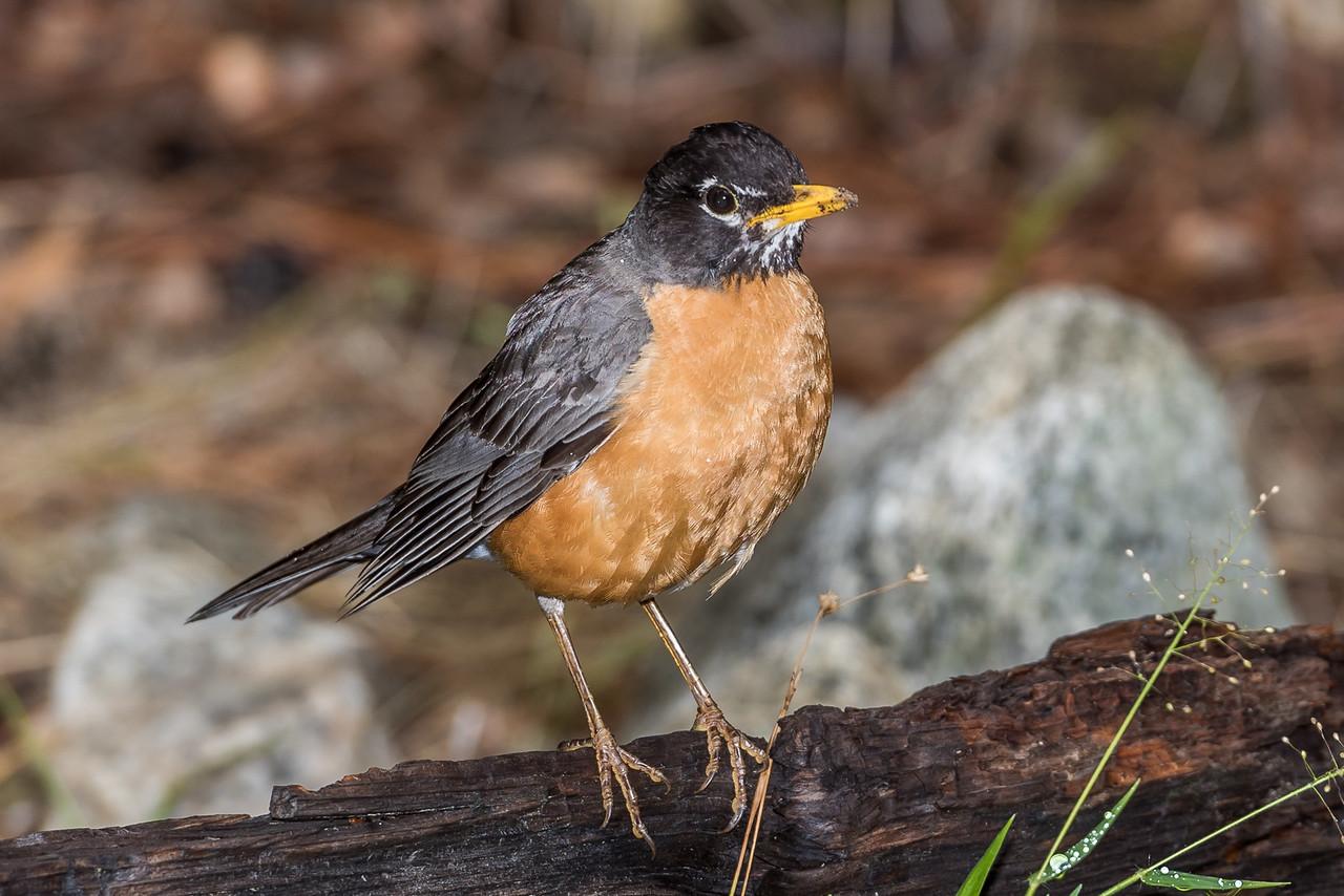 American robin (Turdus migratorius). Yosemite Village, CA.