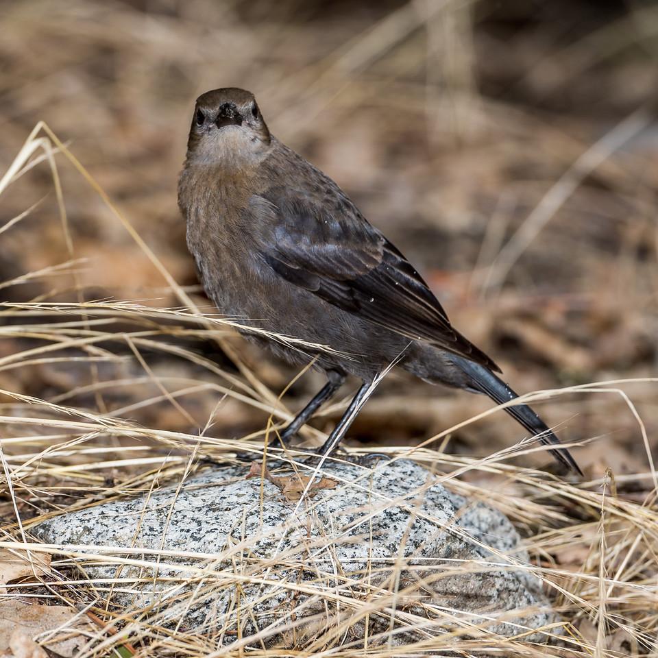 Brewer's blackbird (Euphagus cyanocephalus) female. Yosemite Village, CA.