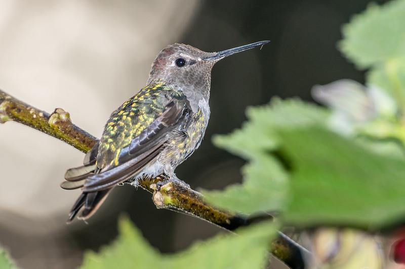 Anna's hummingbird (Calypte anna) on redvein abutilon (Callianthe picta). Patricks Point, Humboldt County, California.