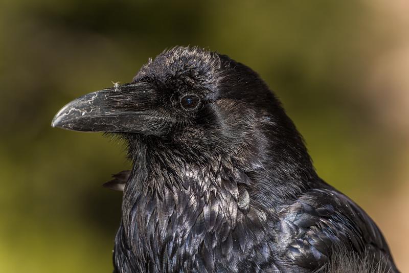 Common raven (Corvus corax). Indian Ridge, Yosemite National Park, CA.