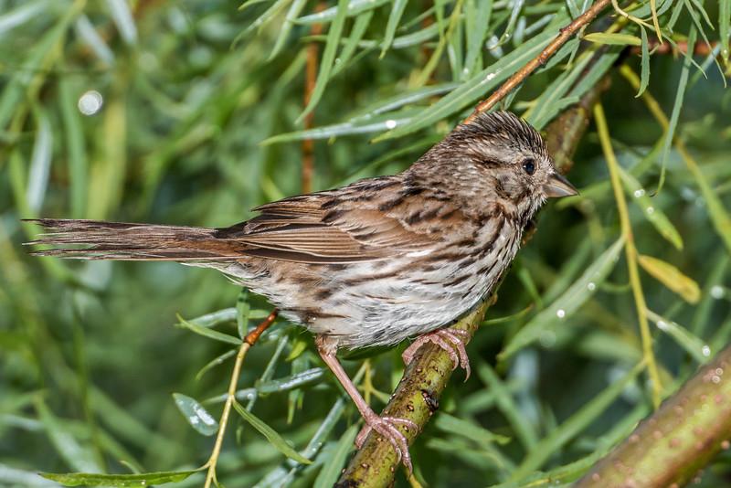 Song sparrow (Melospiza melodia). Fish Lake, Maple Grove, Minnesota.