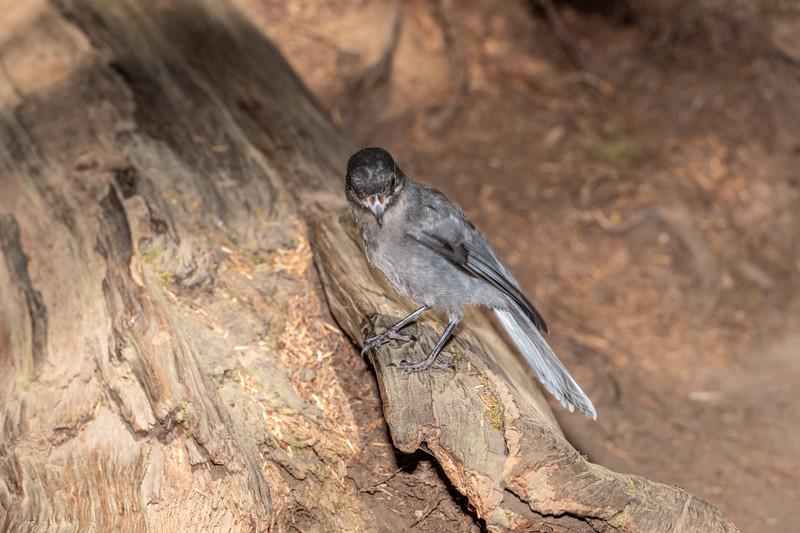 Canada jay (Perisoreus canadensis). Boy Scout Tree Trail. Jedediah Smith Redwoods State Park.