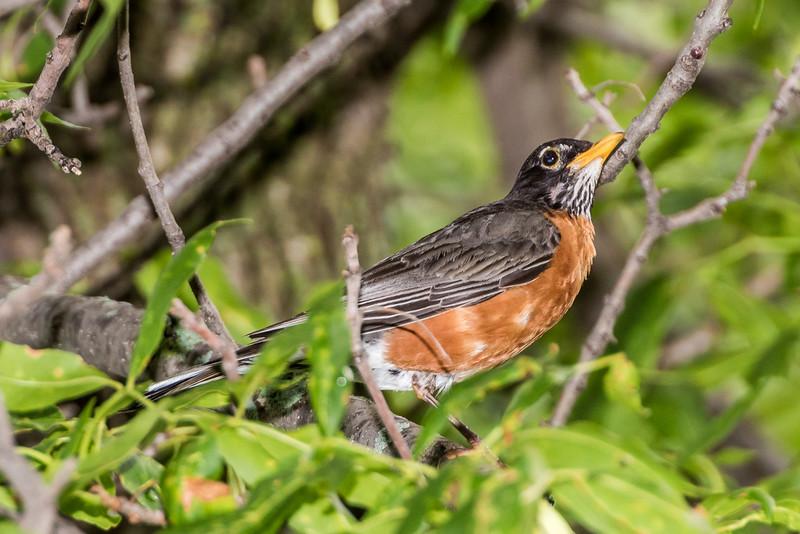 American robin (Turdus migratorius). Fish Lake, Maple Grove, Minnesota.