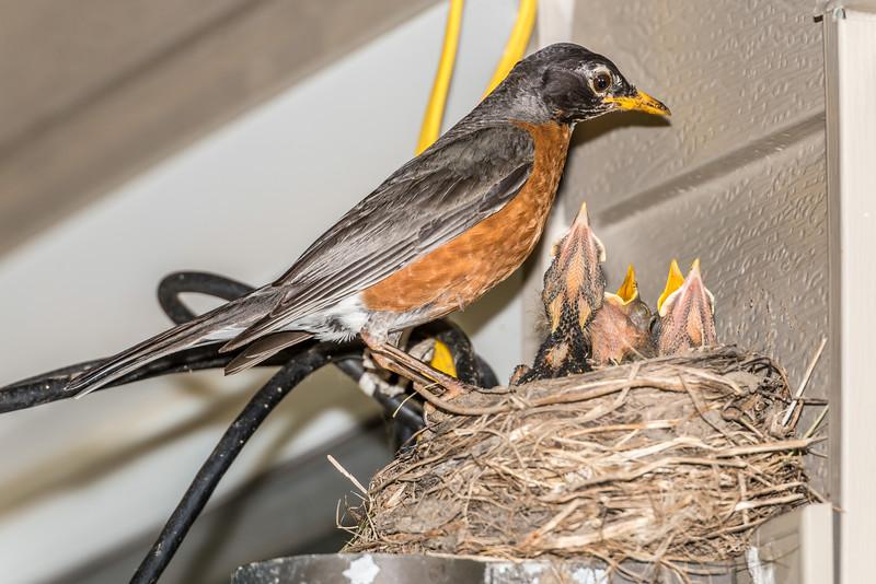 American robin (Turdus migratorius) nest. Maple Grove, Minnesota