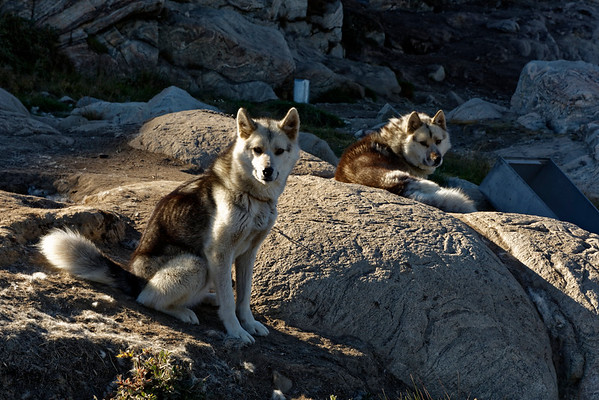Most people in Ilulissat keep some Greenland huskies, for use in winter as transportation and hunting. These were tethered near their kennels  along the track out of town, leading to the lookout point above the Ilulissat icefjord.