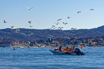 Ilulissat fishermen haul in their long lines in Disko Bay with icebergs as a backdrop. THey clean and fillet the fish as they are hauled in, throwing the offal and frames to the seabirds.