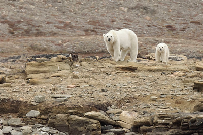 A mother polar bear and single cub watch the cruising zodiacs with interest, but do not appear to feel threatened. They were gnawing at the remains of a narwhal.