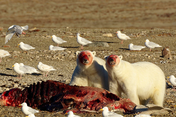 Polar bears gorging on beluga carcases, left by Inuit hunters at Coningham Bay, Prince of Wales Island.
