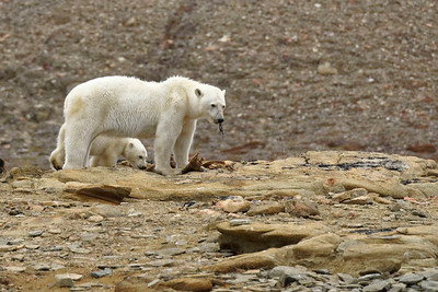 A mother polar bear and single cub gnaw at the dried remains of a narwhal at Dundas Harbour, on Devon Island.