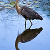 Blue heron in the North Chagrin Cleveland Metroparks Reservation