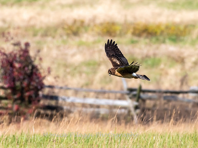 Northern Harrier 7 Nov 2018-4834